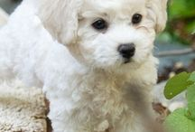 Bichon frisée / Lovely ,cute and funny