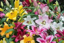 Lilies / Fragrant Lilies, Oriental Lilies, Asiatic Lilies, Species Lilies, Lily Bouquets and More.