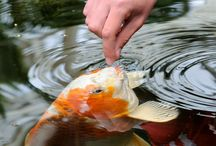 Koi Fish / Koi, or Carp as they are called are perfect for fish ponds