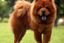 Chow chow / For the dearest Chow Chow ever - Toby / by Margaret Tonkin