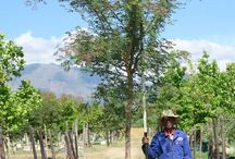 Acacia galpinii (Monkey Thorn) / We stock this deciduous tree in size 40L, 100L, 200L, 400L and 1000L. The large, green foliage make it a suitable tree for parks, avenues and large gardens. (Last updated 28 March 2017)