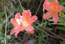 Рододендроны май 2014 / Цветущие зимостойкие рододендроны