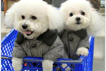 Bichons / My love for these adorable puppies is unimaginable!