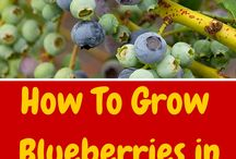 Gardening - Blueberries