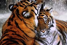 Big Cats / The cat, in dignity and independence, is very much like the human animal should be but isn't. Paul Corey