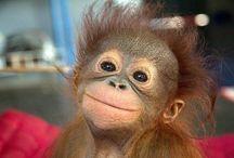 Orangutang och andra primater!