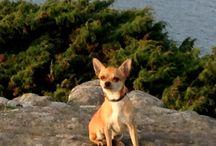 Mina djur / Min hund chihuahua Lillen
