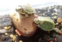 Mi Tortuga Kame <3 / hace muy poco mi madre me ha comprado una hermosa tortuga y creo que me he enamorado de ella <3, al parecer le encanta posar en las fotos así que sera mi tortuga modelo jajaja