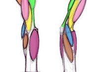 Anatomia rysownik