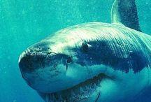 SharkObsession