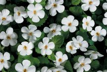 Pretty flowers / Beautiful perennial and annual flowers that you must have in the garden.