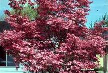 Dogwood Trees / Need help identifying a tree? Dreaming of your dream garden or landscaping project? Or do you just love the seasonal colors of Dogwood trees? We've got you covered.