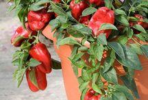 Légumes en pot