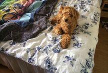 Tage / Vår familjemedlem Tage, en dvärgpudelpojke född i slutet av januari 2014 som flyttade in hos oss i somras ❤️
