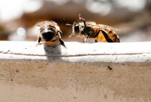 Buzz About Bees / I like honeybees--No, I love them. I have two hives of my own this year.