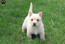 Cairn Terriers / Pictures of Cairn Terriers!