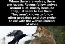 Crow/Raven References