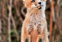 fox board