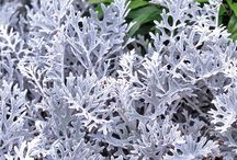 CINERARIA / Colours and Varieties