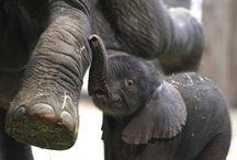 Elephants / Elephants / by Lisa Brown