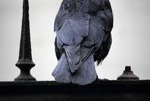 Ворон. Птицы