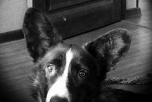 любите ли вы кардиганов так как их люблю я? / Вельшкорги кардиган -лучшая в мире порода собак!