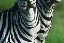 Mum's Zebras / Mum's Zebras; look at the emotions. Wish I could just colour my world Zebra.