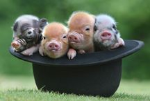 Piglets are Precious / My fave animal in the world love my pigs