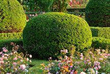 rose  garden Розы