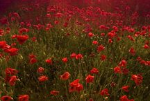 Tuscany Sunset Poppies field National Geographic