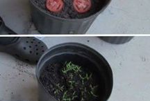 A EASY way 2 grow Tomatoes