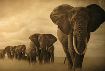 Elephant / Symbolic elephant meaning deals primarily with strength, honor, stability and patience, among other attributes.