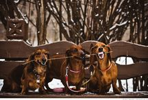 Darlin' Doxies / by Doreen Birnie