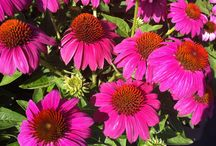 ECHINACEA / Varieties and Colours