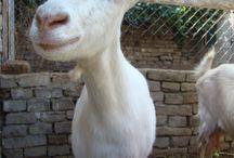 Mindenféle SuperKawaii Animal ( főleg kecskék! ), MSKA