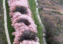 cherry blossom, wisteria, spring