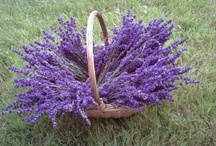 Flowers & Herbs / These plants are the star of our products.  We grind them up, use them to infuse our oils, and enjoy their scent through essential oils.