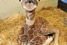 zürafa yavru