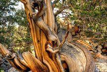 Vén fák / Gyönyörű öreg fák.