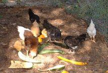 Chickens / by Karen Neuenschwander