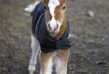 Baby foals / This is a Fallabella they are miniture horses