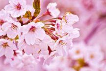 Japan / Spring / SAKURA