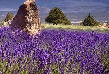 Lavender Beauty