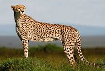cheetah's / stuff