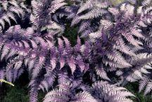 Perennials - Shade