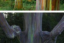 Eucalyptus - rainbow