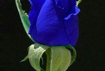 o floare pt o floare si nai frumoasa