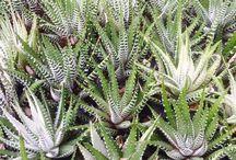haworthia / succulents, cactus, variegated, giromagi, plants