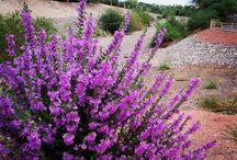 Garden Drought Tolerant / Drought Tolerant Gardens