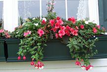 Fuchsias BASKET-- фуксии. Fuchsias. /  Сорта и комбинации фуксии для подвесных корзин. Varieties and combinations of fuchsia for hanging baskets.